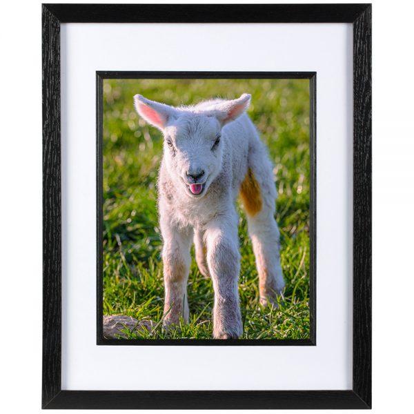 Mounted Frame - Lambing Season